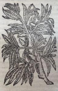 Amandes. Illustration des Commentaires de M.  Pierre André Matthiole sur les six livres de P. Dioscoride de la matière médicinale, 1559.