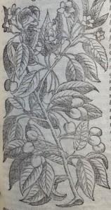 Cerises. Illustration des Commentaires de M.  Pierre André Matthiole sur les six livres de P. Dioscoride de la matière médicinale, 1559.