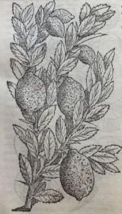 Cirons.Illustration des Commentaires de M.  Pierre André Matthiole sur les six livres de P. Dioscoride de la matière médicinale, 1559.