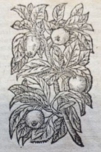 Coings. Illustration des Commentaires de M.  Pierre André Matthiole sur les six livres de P. Dioscoride de la matière médicinale, 1559.