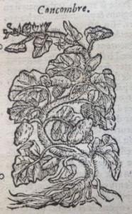 Concombre, Illustration des Commentaires de M.  Pierre André Matthiole sur les six livres de P. Dioscoride de la matière médicinale, 1559.