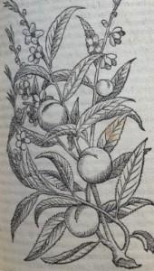 Pêches. Illustration des Commentaires de M.  Pierre André Matthiole sur les six livres de P. Dioscoride de la matière médicinale, 1559.